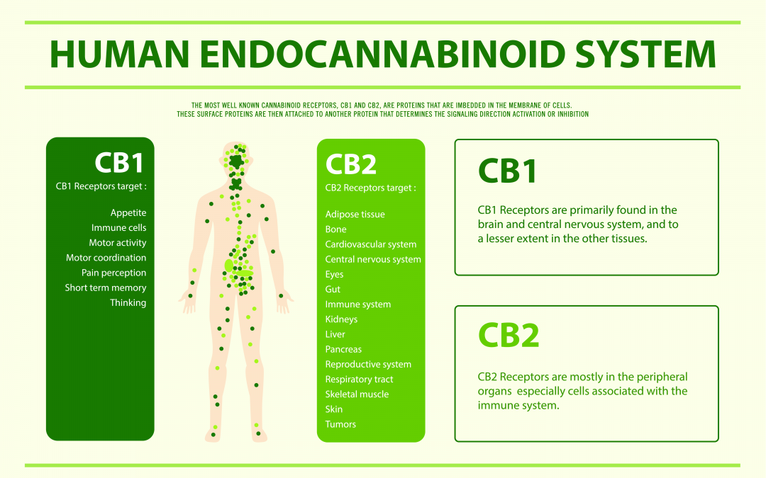 The Endocannabinoid System – Your Body Was Made for CBD Oil